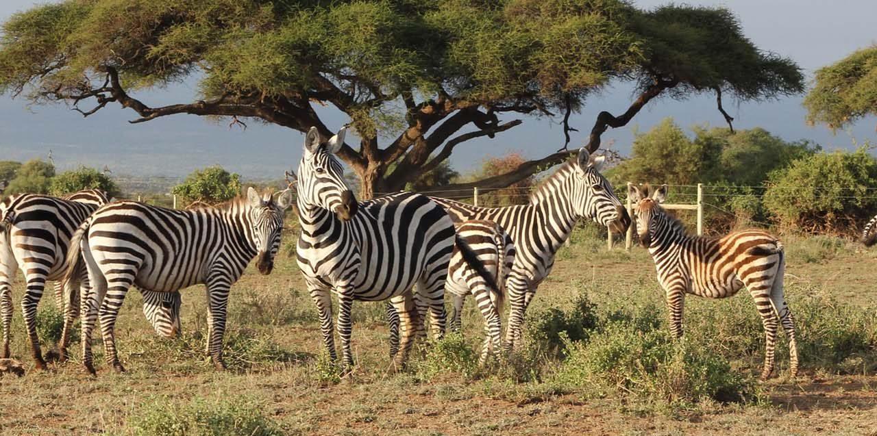 https://www.kilimanjaronaturetours.com/wp-content/uploads/2014/11/zebras-1-1280x637.jpg